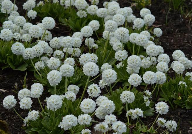 Pierwiosnek ząbkowany 'Prom White' Primula denticulata