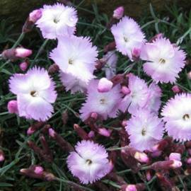 Goździk 'Whatfield Wisp' Dianthus