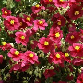 Posłonek 'Hartswood Ruby' Helianthemum hybridum