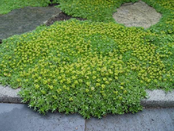Azorella trójwidlasata Azorella trifurcata