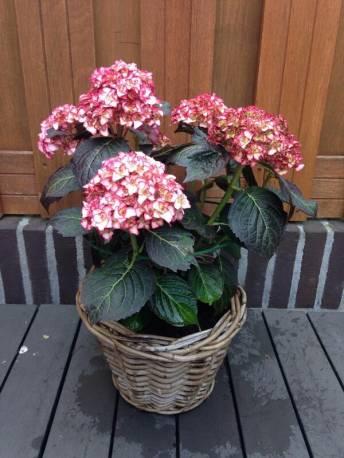 Hortensja ogrodowa 'Miss Saori' Hydrangea macrophylla