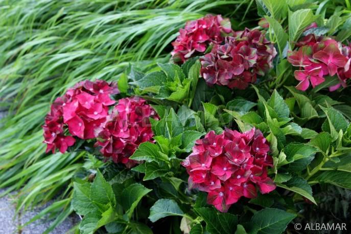 Hortensja ogrodowa 'Green Shadow ' Hydrangea macrophylla