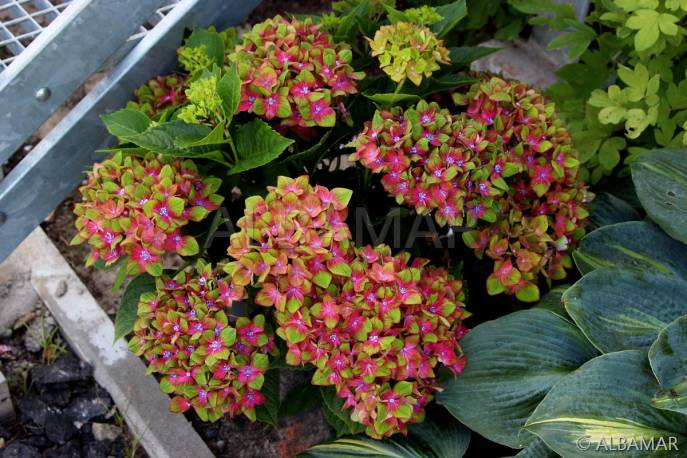 Hortensja ogrodowa 'Schloss Wackerbarth ' Hydrangea macrophylla