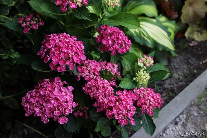 Hortensja ogrodowa 'Hopcorn' Hydrangea macrophylla