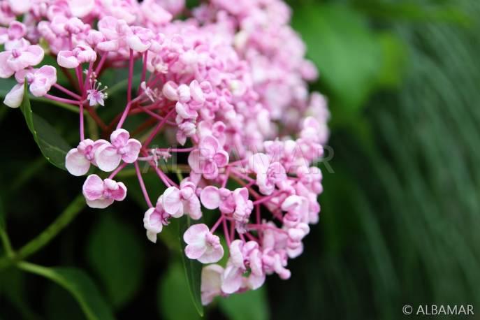 Hortensja ogrodowa 'Ayesha' Hydrangea macrophylla