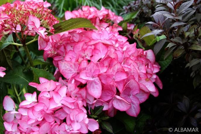Hortensja ogrodowa 'Salsa' Hydrangea macrophylla