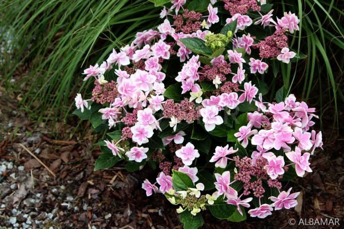 Hortensja ogrodowa 'Star Gazer' Hydrangea macrophylla