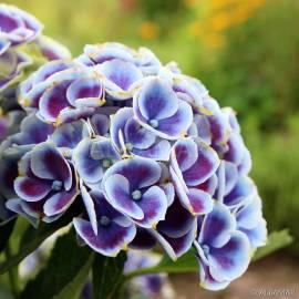 Hortensja ogrodowa 'Tivoli Blue' Hydrangea macrophylla