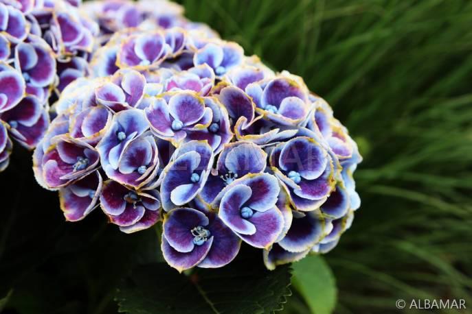 Hortensja ogrodowa 'Bavaria' Hydrangea macrophylla
