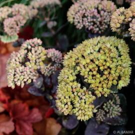 Rozchodnik karpacki 'Green Yellow' SEDUCTION Sedum telephium