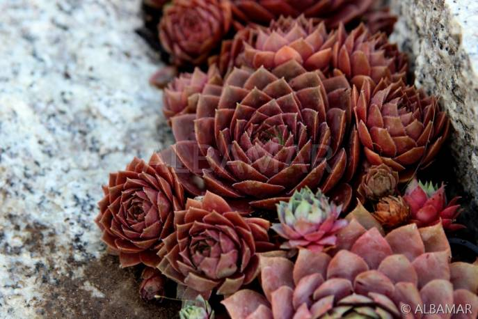 Rojnik 'Scrockies Bronze' Sempervivum hybridum