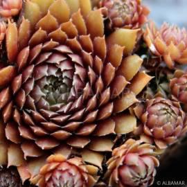 Rojnik 'Nouveau Pastel' Sempervivum hybridum