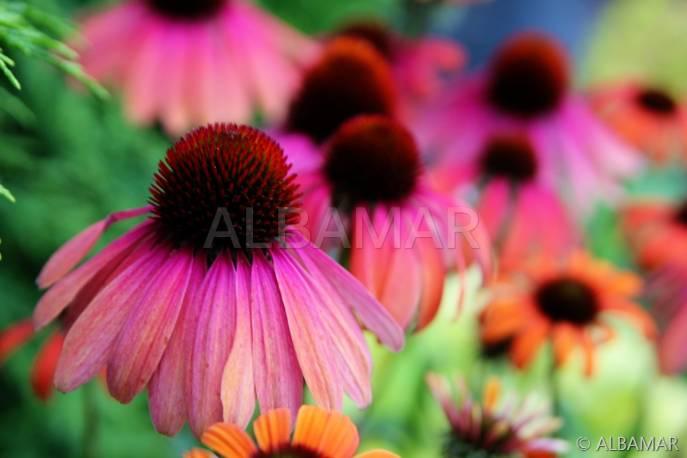 Jeżówka purpurowa 'Rainbow Marcella' Echinacea purpurea