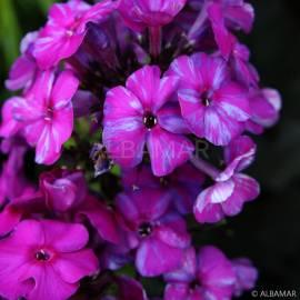 Floks wiechowaty 'Autumn Joy' Phlox paniculata