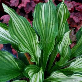 Funkia 'Kiwi Spearmint' Hosta