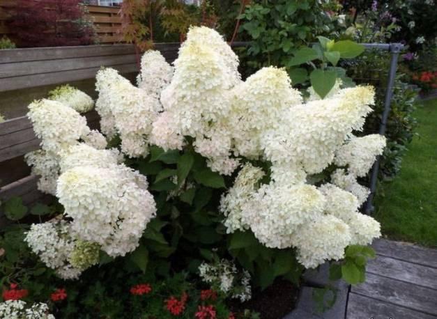 Hortensja bukietowa MAGICAL 'Sweet Summer' Hydrangea paniculata