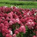 Hortensja bukietowa 'Diamant Rouge' Hydrangea paniculata