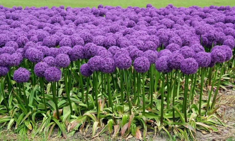 Czosnek 'Globemaster' Allium