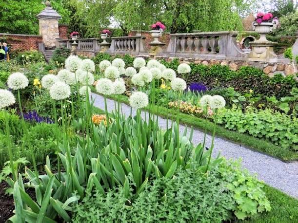 Czosnek 'Mont Blanc' Allium
