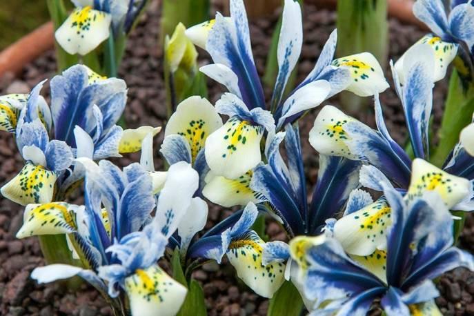 Kosaciec żyłkowany 'Eye Catcher' Iris reticulata