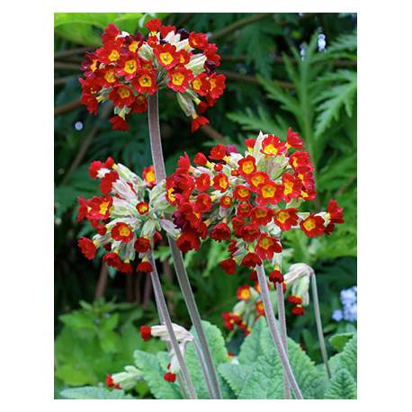 Pierwiosnek lekarski 'Sunset Shades' Primula veris