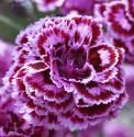 Goździk postrzępiony 'James Portman' Dianthus plumarius