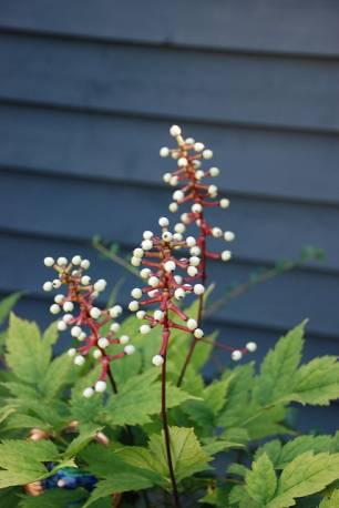 Świecznica grubopędowa 'Misty Blue' Actaea pachypoda