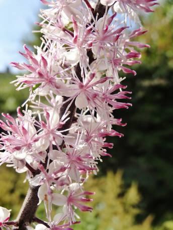 Świecznica prosta 'Pink Spike' Actaea simplex