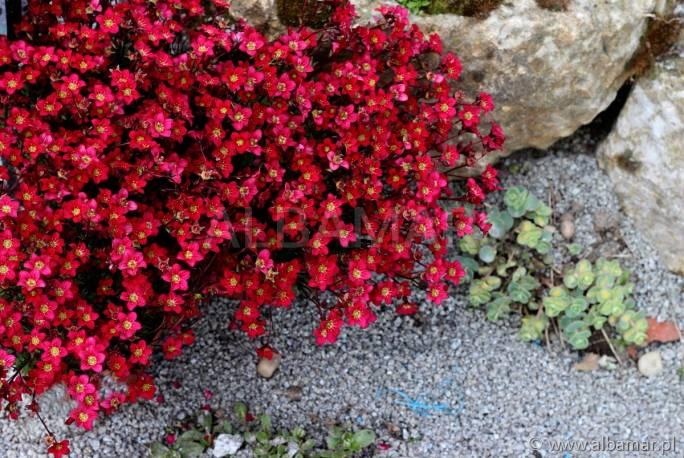 Skalnica arendsa 'Rockies Red' Saxifraga arendsii