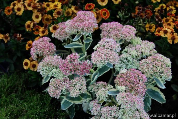 Rozchodnik 'Autumn Charm' Sedum