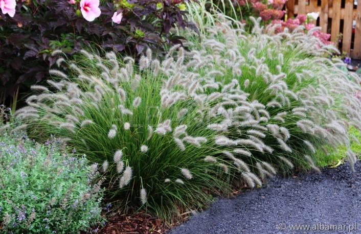 Piórkówka japońska 'Hameln' Pennisetum alopecuroides