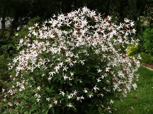 Gillenia trójlistna Gillenia trifoliata