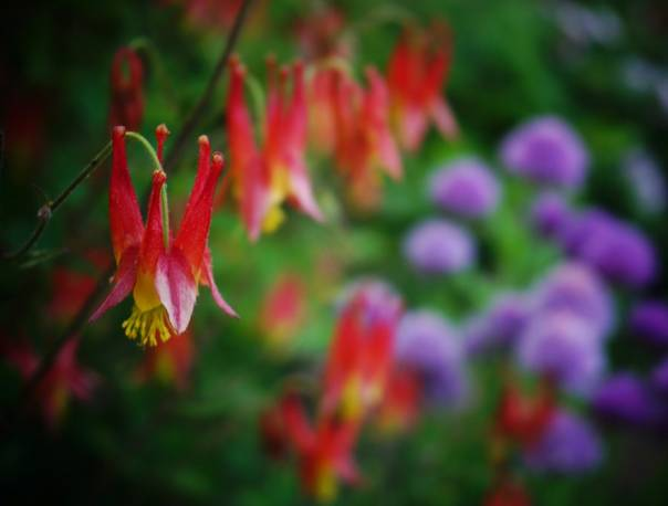 Orlik kanadyjski 'Little Lanterns' Aquilegia canadensis