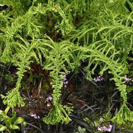 Wietlica samicza 'Victoriae' Athyrium filix-femina