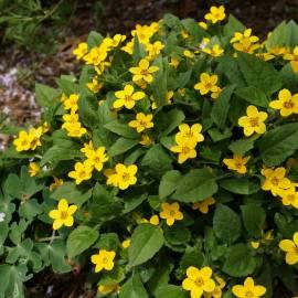 Złotospor wirginijski Chrysogonum virginianum