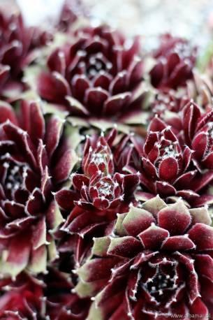 Rojnik 'Jade Rose' Sempervivum hybridum