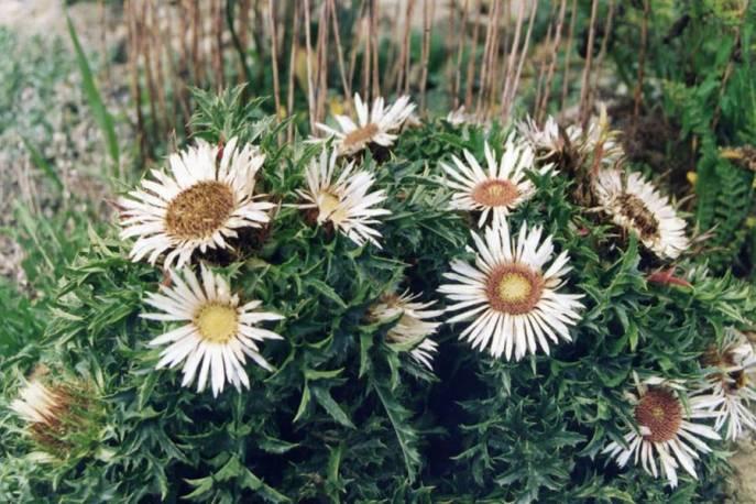 Dziewięćsił bezłodygowy Carlina acaulis ssp. simplex
