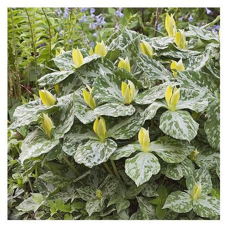 Trójlist żółty Trillium luteum