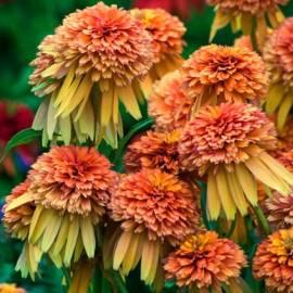 Jeżówka 'Marmalade' Echinacea