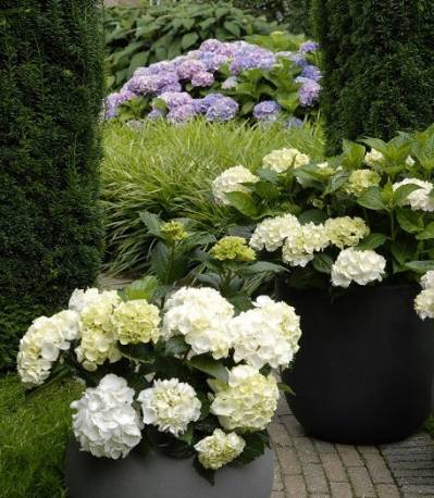 Hortensja ogrodowa 'Vanilla Sky' Hydrangea macrophylla