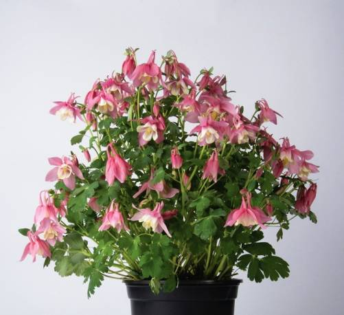 Orlik wachlarzowaty 'Spring Magic Rose and White' Aquilegia flabellata