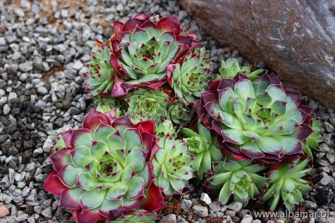 Rojnik murowy 'Red' Sempervivum tectorum