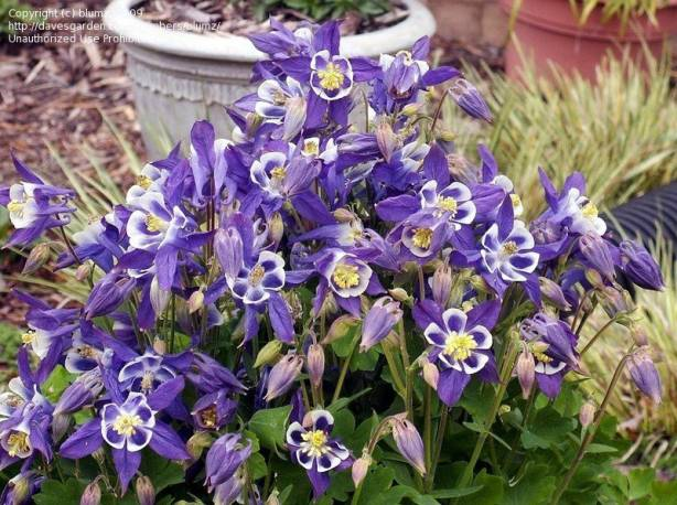 Orlik 'Winky Blue and White' Aquilegia carulea
