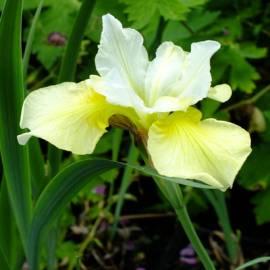 Kosaciec syberyjski 'Contrast in Style' Iris sibirica