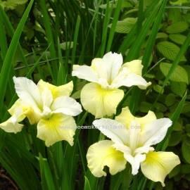 Kosaciec syberyjski 'Moon Silk' Iris sibirica