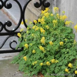 Kokorycz żółta Corydalis lutea