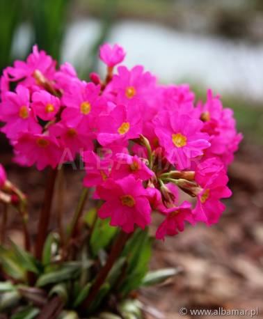 Pierwiosnek różowy 'Grandiflora' Primula rosea