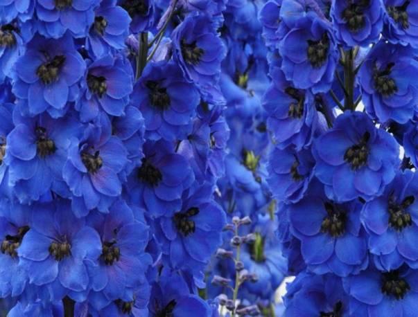 Ostróżka 'Magic Fountain Dark Blue' -mix Delphinium cultorum