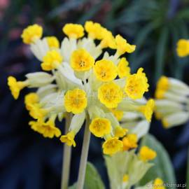 Pierwiosnek lekarski 'Cabrillo Yellow' Primula veris