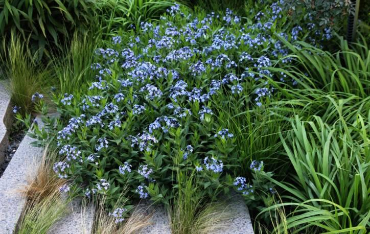 Amzonia nadreńska 'Blue Ice' Amsonia tabernaemontana